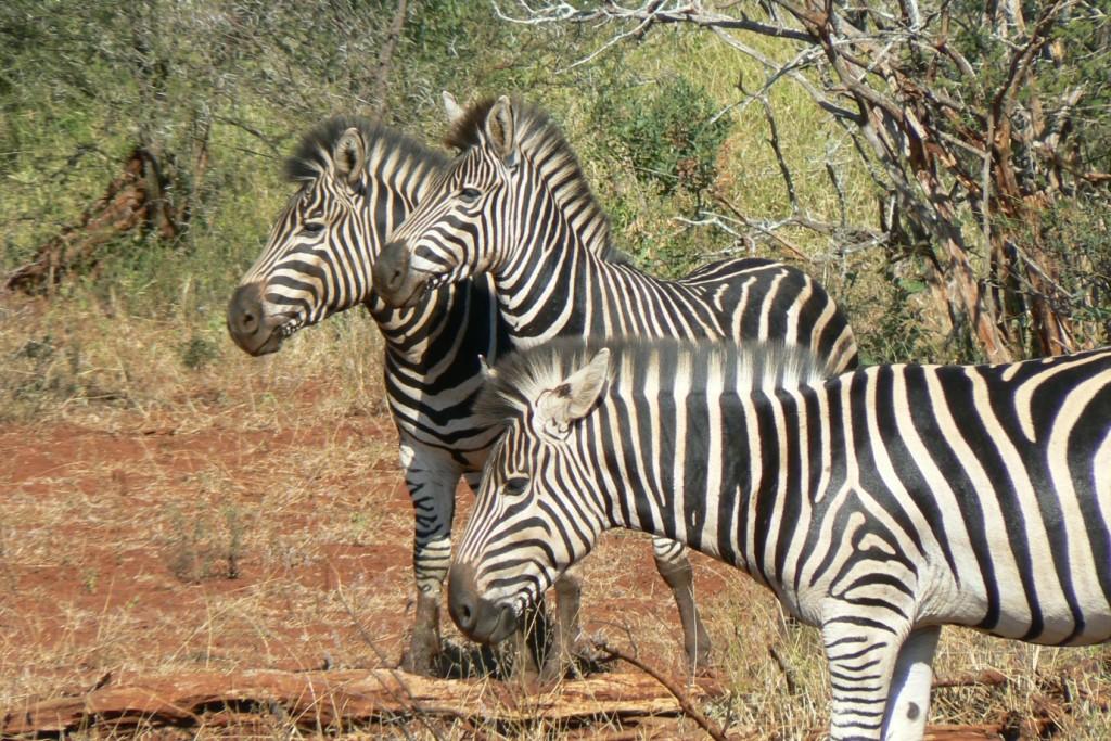 Kruger Park_Zebras