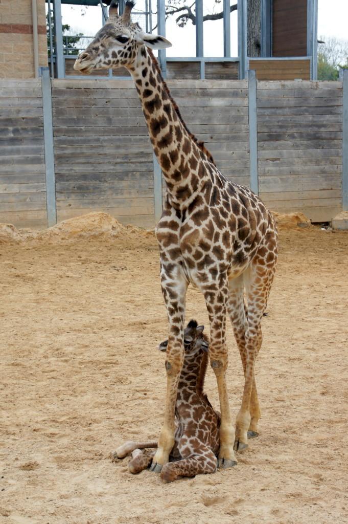 Girafas - Mãe e filha no Houston Zoo