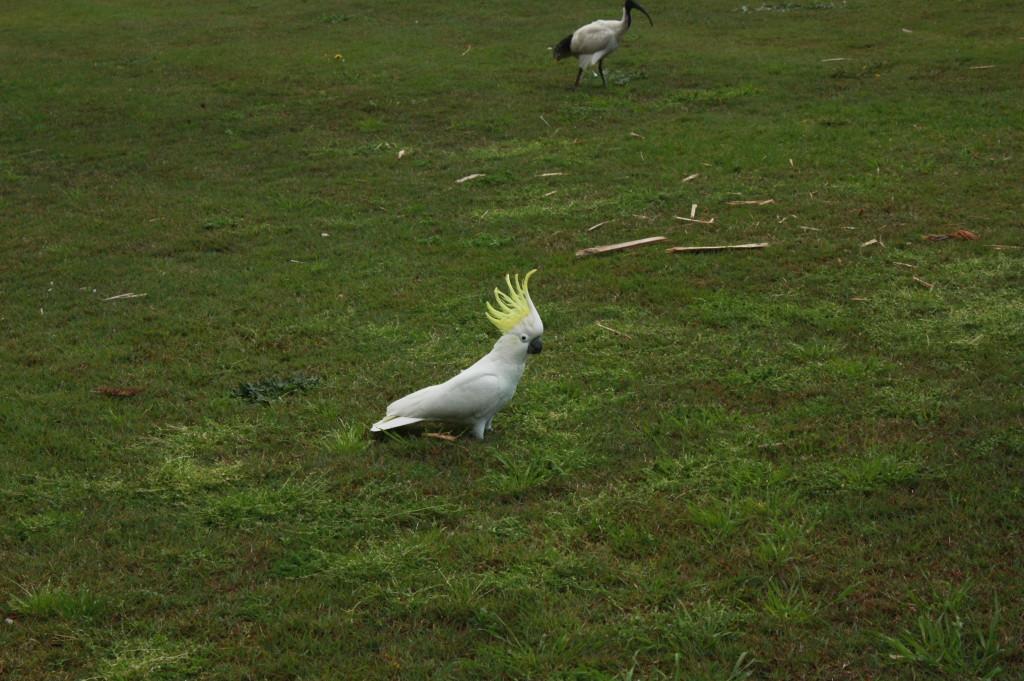 A cockatoo, original da Austrália e parente dos nossos papagaios, vive solta na cidade! Ao fundo a Ibis, ao fundo.