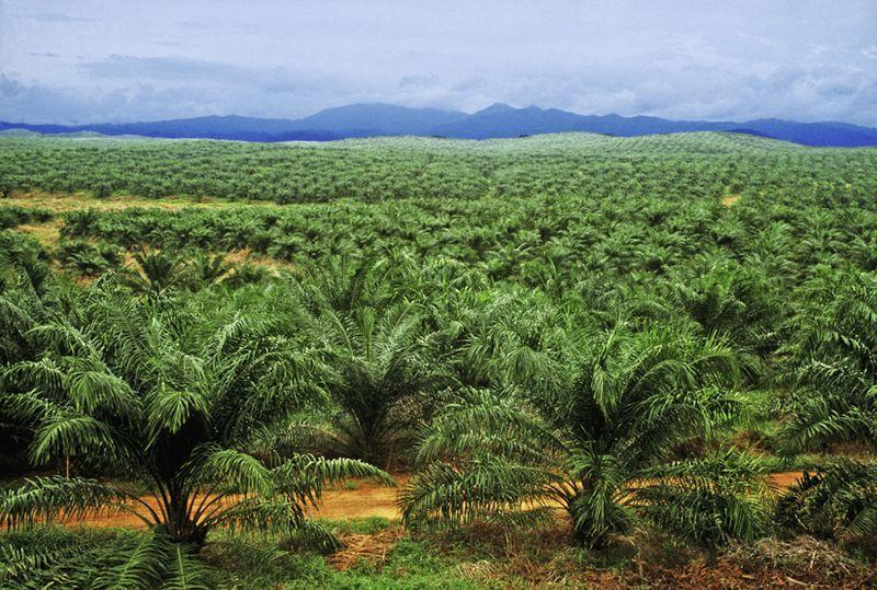 Plantaçao de Palm Oil Fonte: http://www.palmoilextractionmachine.com