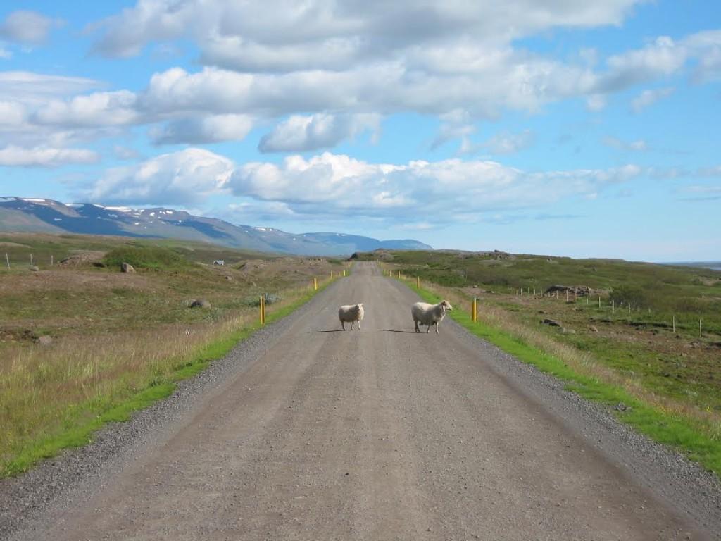 Ovelhas islandesas têm prioridade no trânsito.