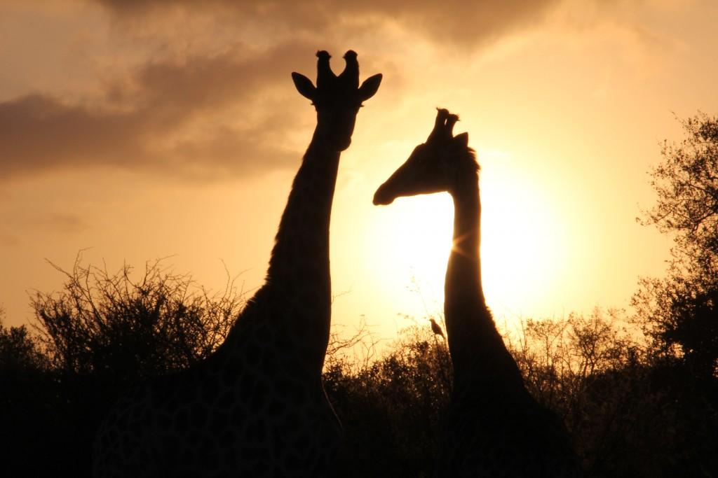 Girafas no Kruger Park (Foto: M.Braga)