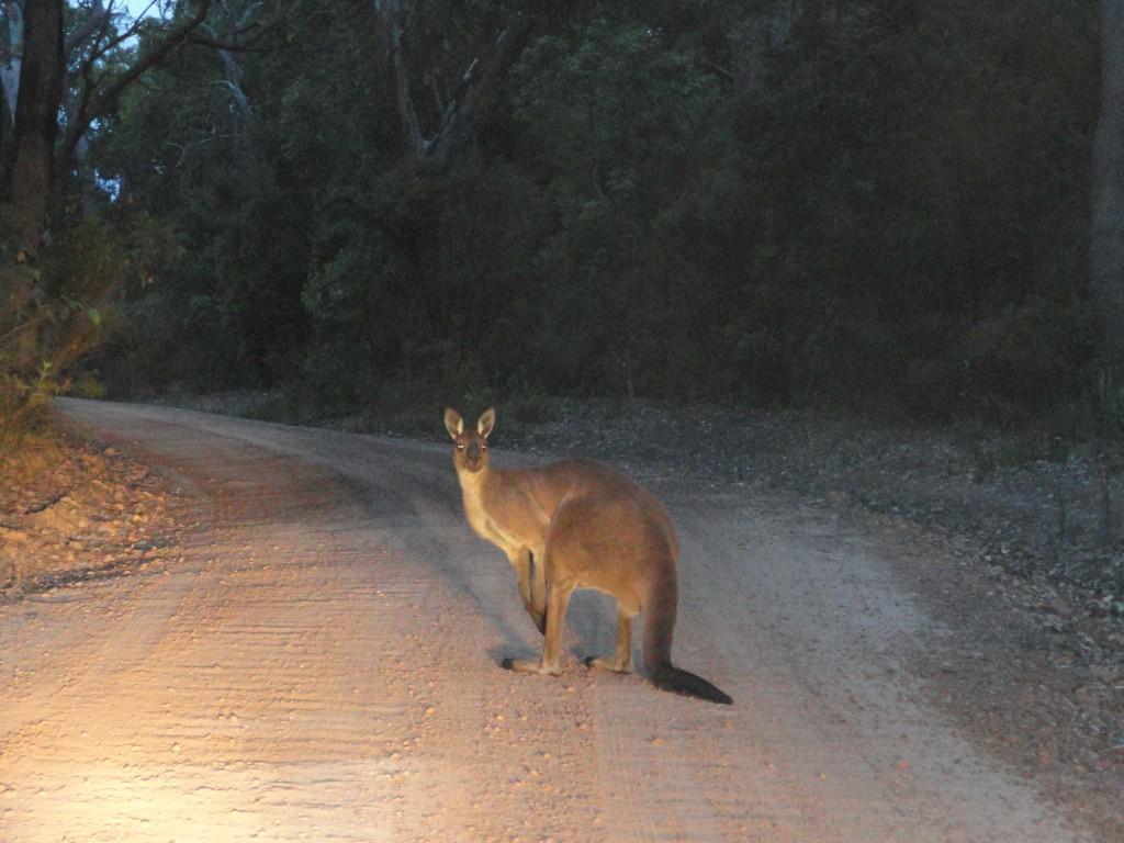 Canguru vermelho na estrada