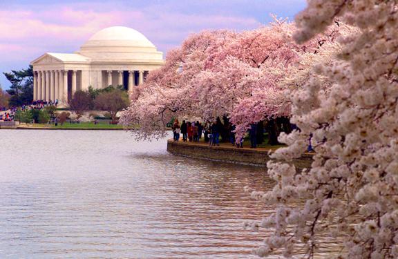 cherry-blossom-11 (1)