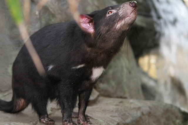 tasmanian-devil-185719_640
