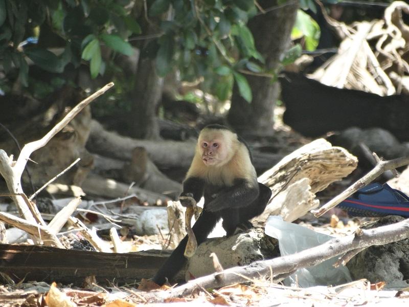 Macaco comendo a banana em Manoel Antônio