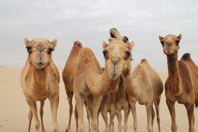camelos são sempre fofos, adoro!