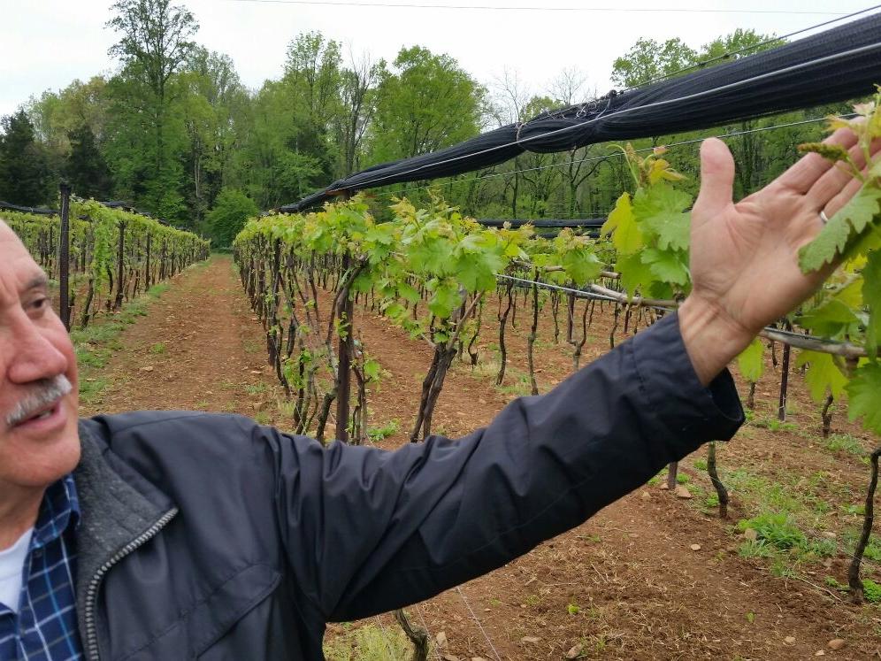 Nelson mostrando com orgulho as belas uvas Carmenère