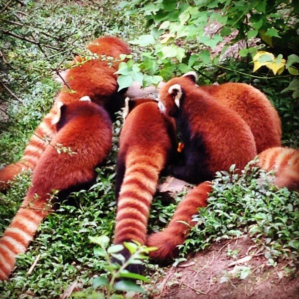 Eu não consegui nenhuma foto de frente dos pandas vermelhos, mas dá para ver que são bem diferentes!