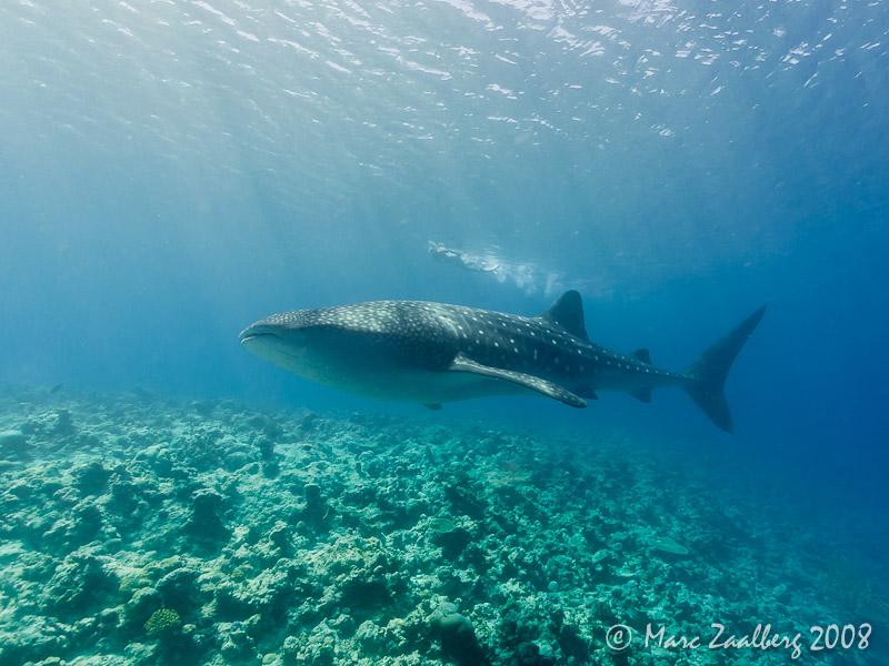 Whaleshark. Foto: Marc Zaalberg