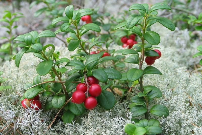 Frutas silvestres, frutas vermelhas, Finlândia, frutas do bosque, alimentação, saúde,