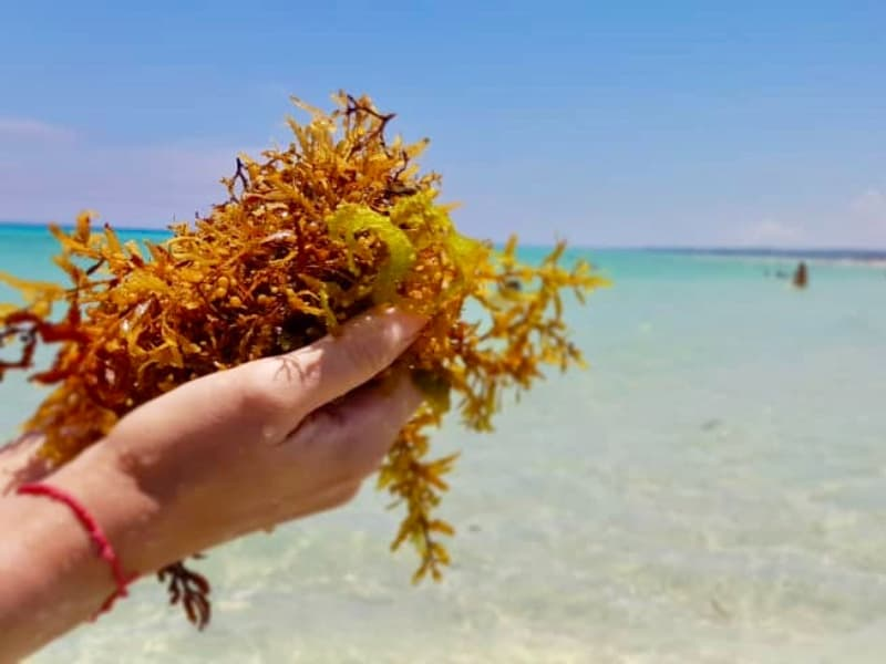Alga que esta crescendo desordenadamente em toda região do Caribe e Atlantico Norte, matando peixes, corais e acabado com a cor turquesa da água do mar.